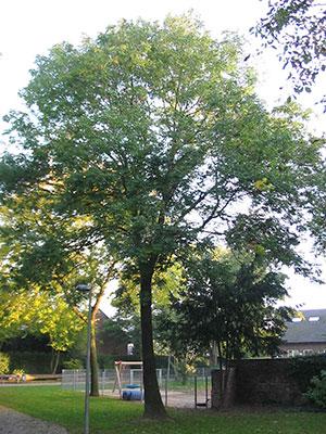 An ash-tree