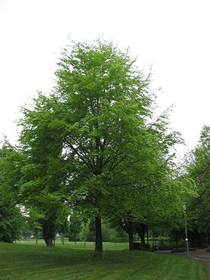 A beech-tree