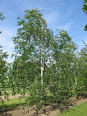 A birch-tree