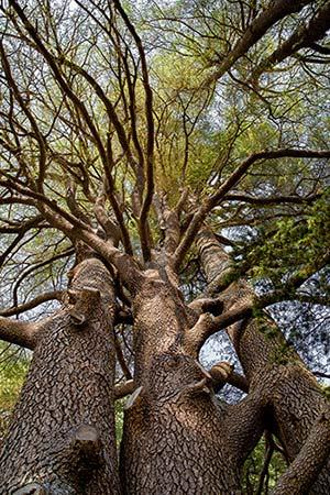 A tall cedar