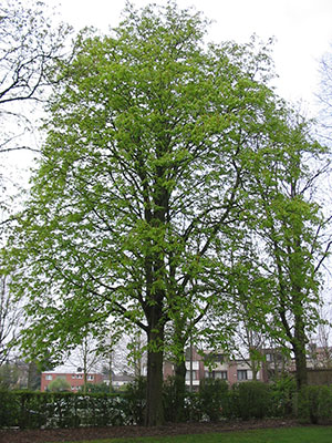 A chestnut