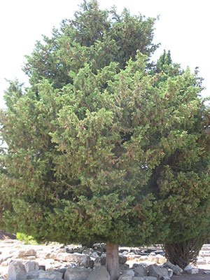 A cypress