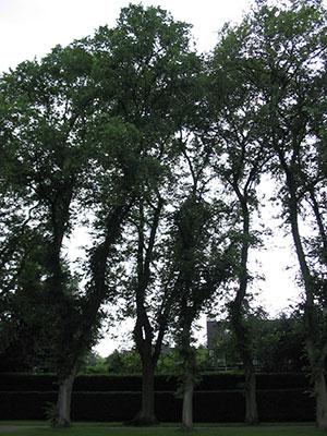An elm