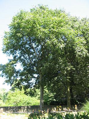 A nettle tree