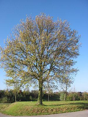 A oak tree