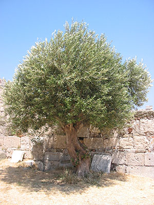 An olive-tree