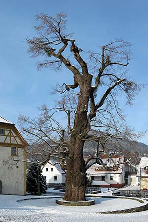 A tree as village center, here a so-called village lime tree